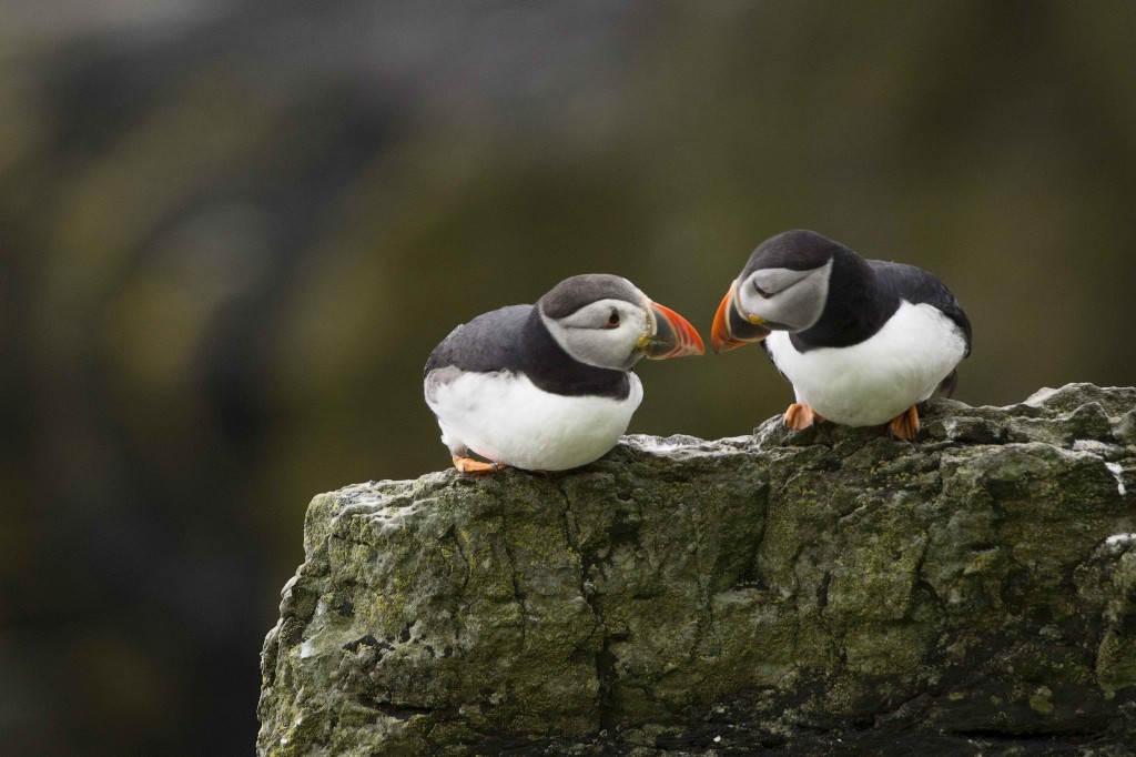 Puffin Birds; Skellig; Kerry